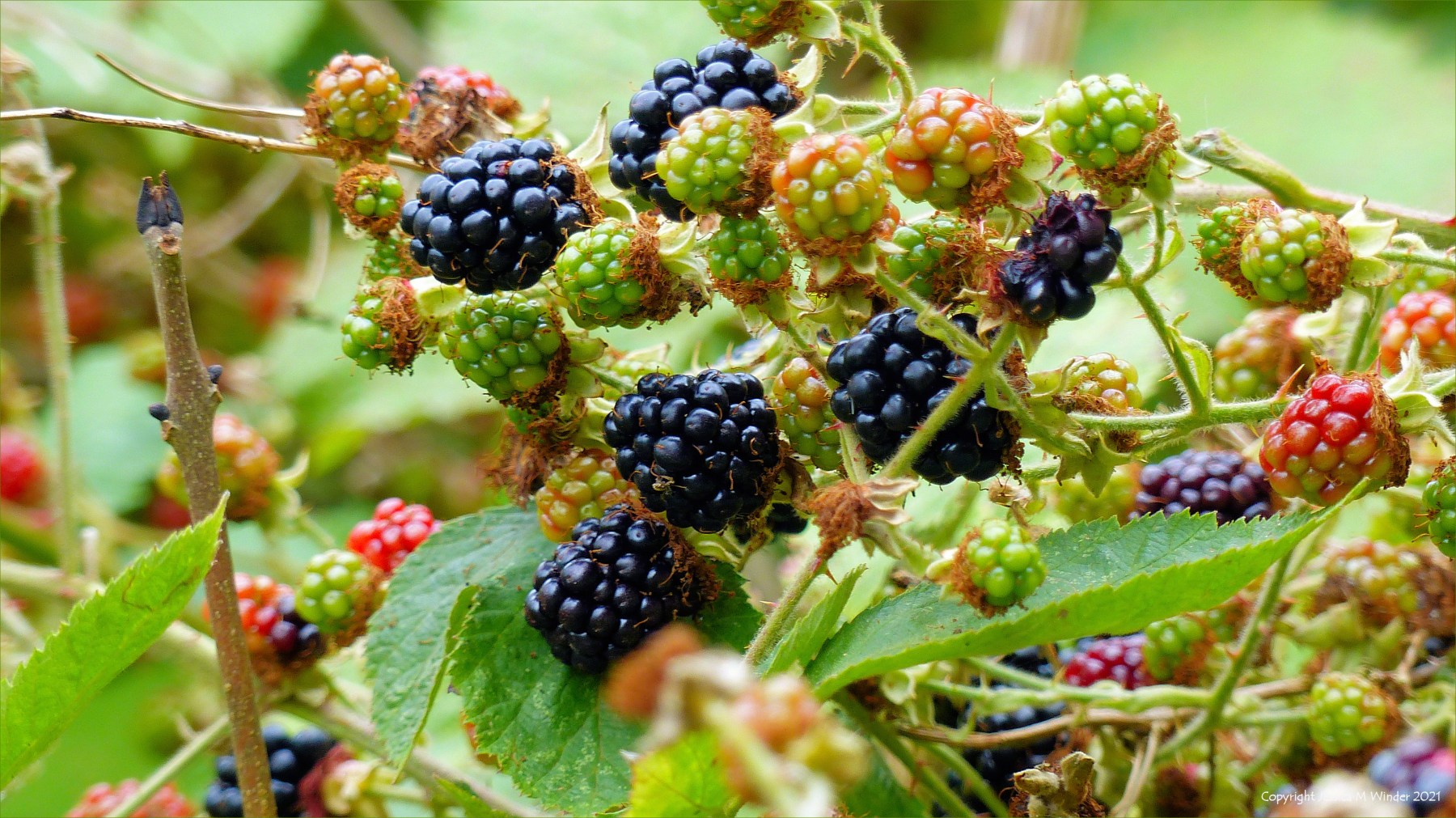 Blackberries beginning to ripen in a hedgerow