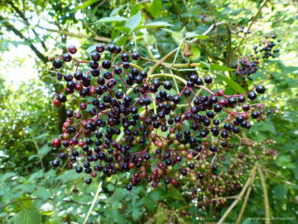 Ripening Elderberries in a hedgerow