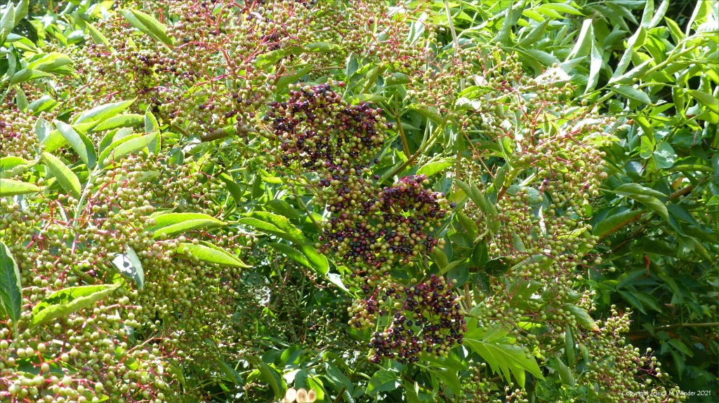 Elderberries ripening in a hedgerow