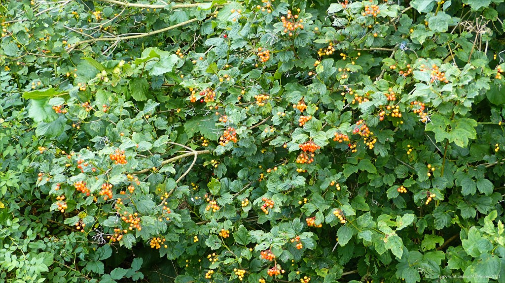 Ripening clusters of berries on Guelder-rose