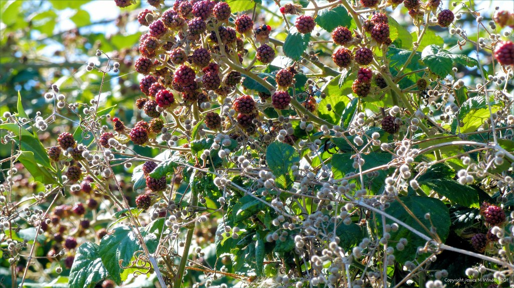 Unripe red blackberries in a hedgerow with cleavers seeds