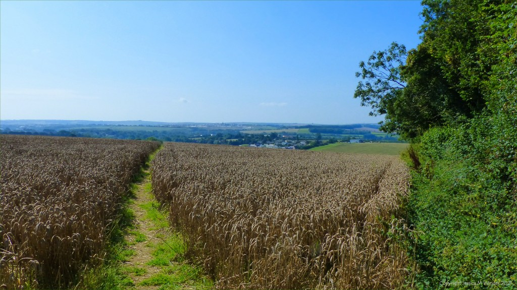 Footpath through a field of ripe wheat in Dorset countryside