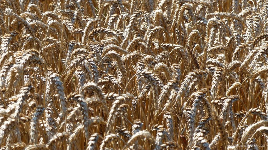 Close-up of ripe wheat in field