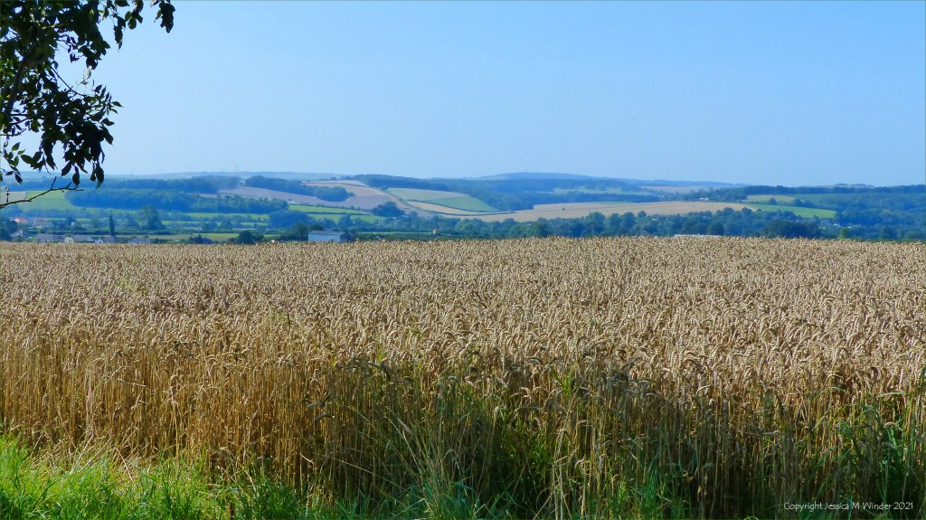 Ripe wheat in hill-top field with countryside views