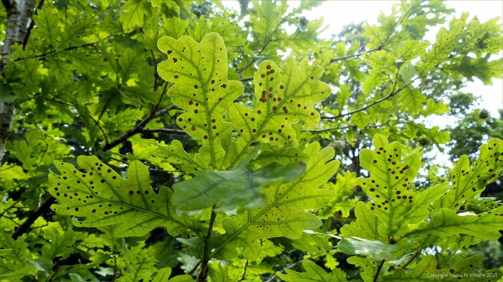 Spangle Galls on oak leaves