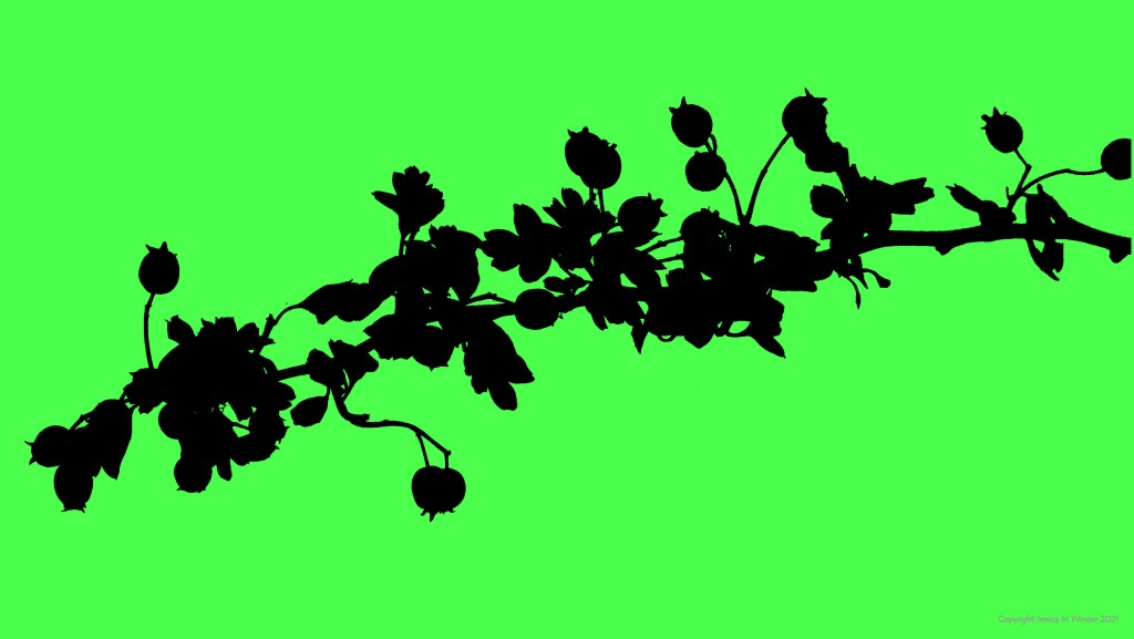 Silhouette from a photograph of Hawthorn with berries, on green background