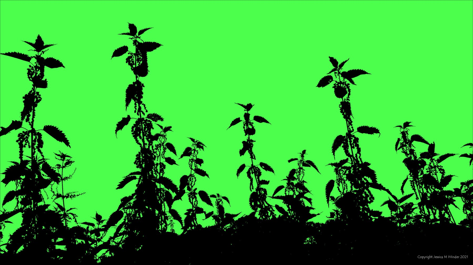 Silhouette from a photograph of Stinging Nettles with flowers , on green background