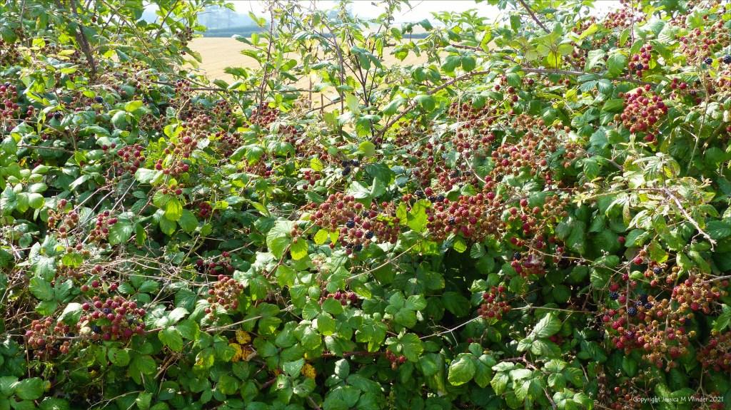 Unripe blackberries in a hedgerow