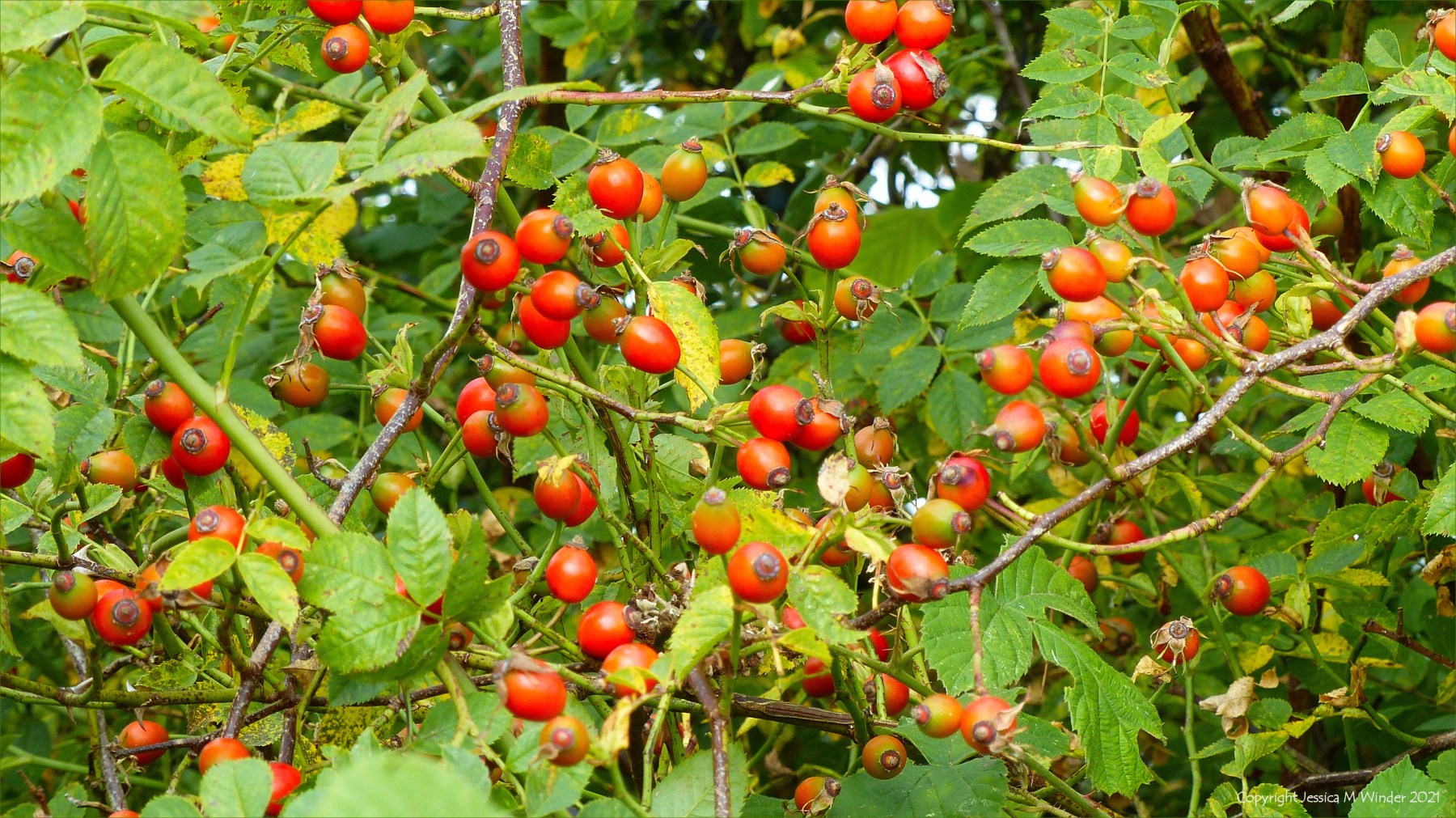 Red Rosehips, berries of the Dog Rose, in a hedgerow