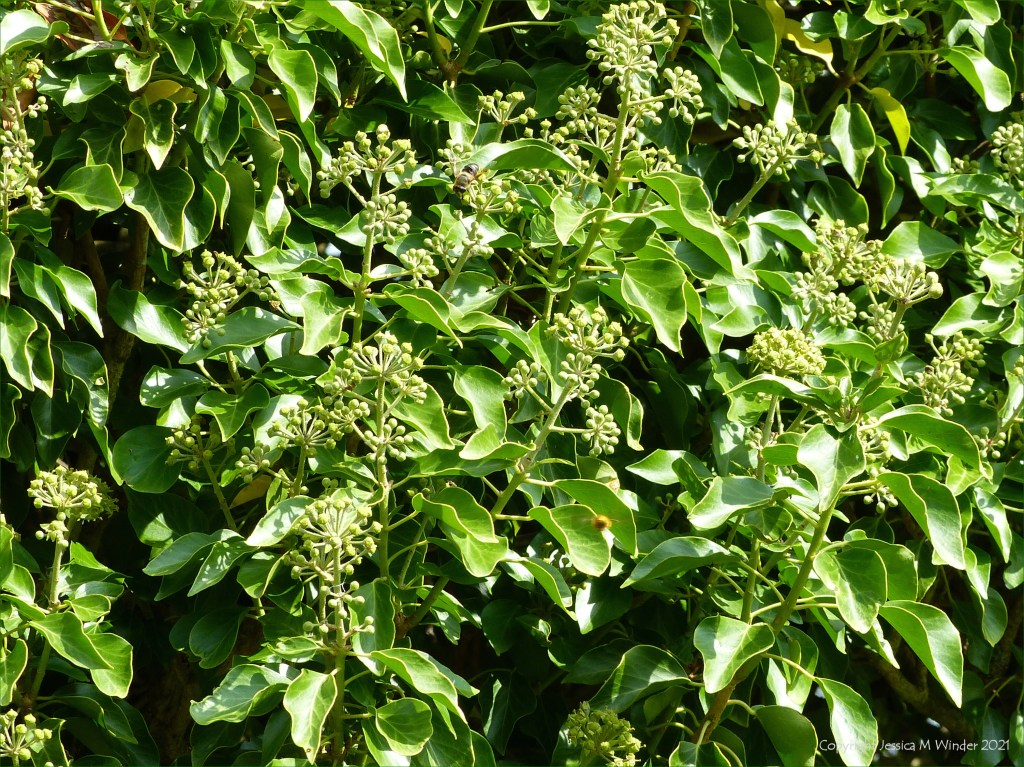 Ivy flowers and leaves in a hedgerow