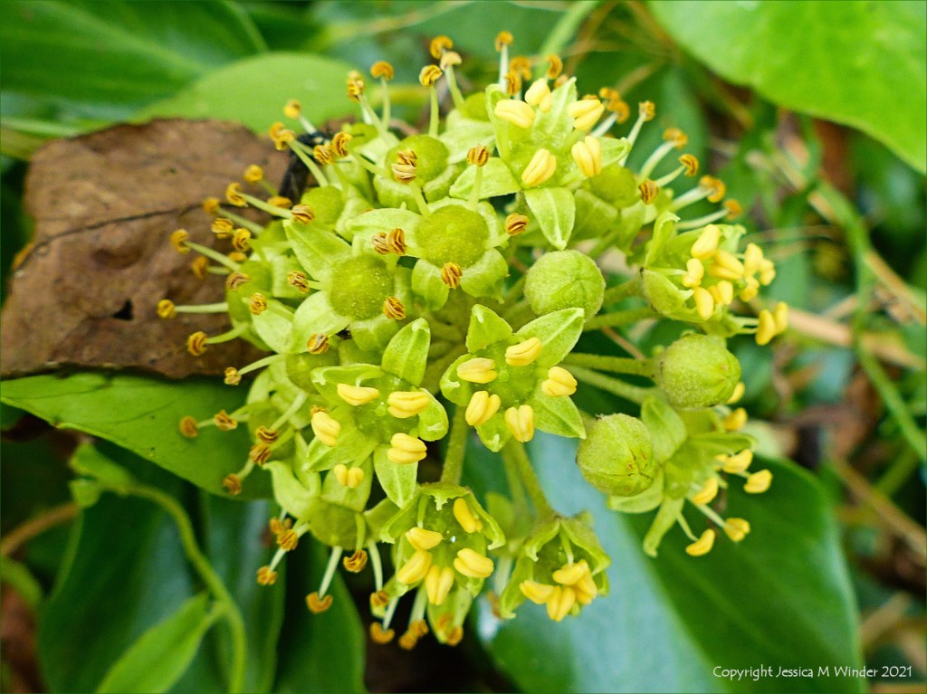 Ivy flowers in a hedgerow at Charlton Down in Dorset