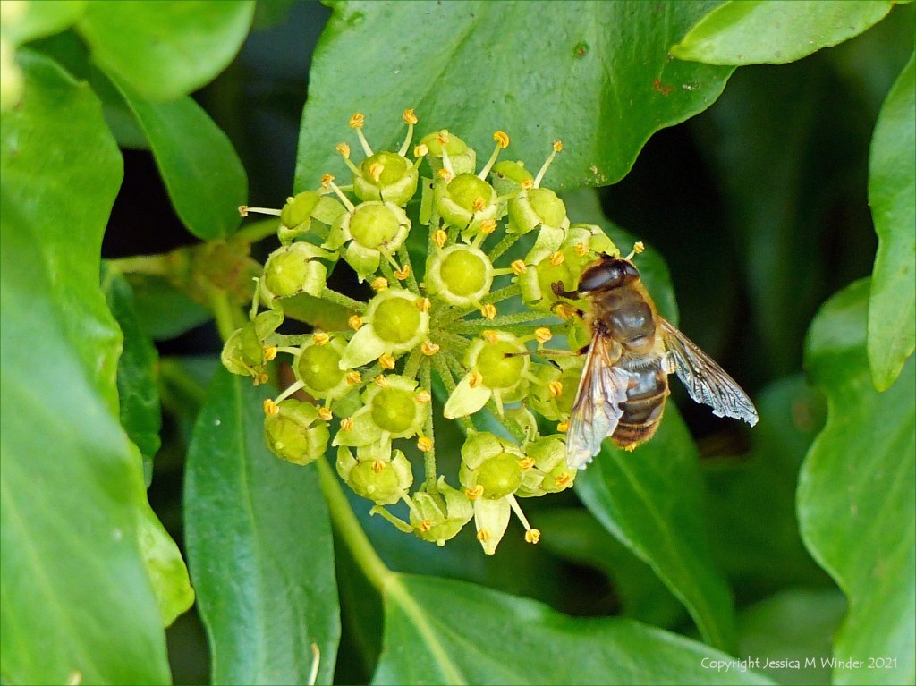 Ivy flowers with bee in a hedgerow at Charlton Down in Dorset