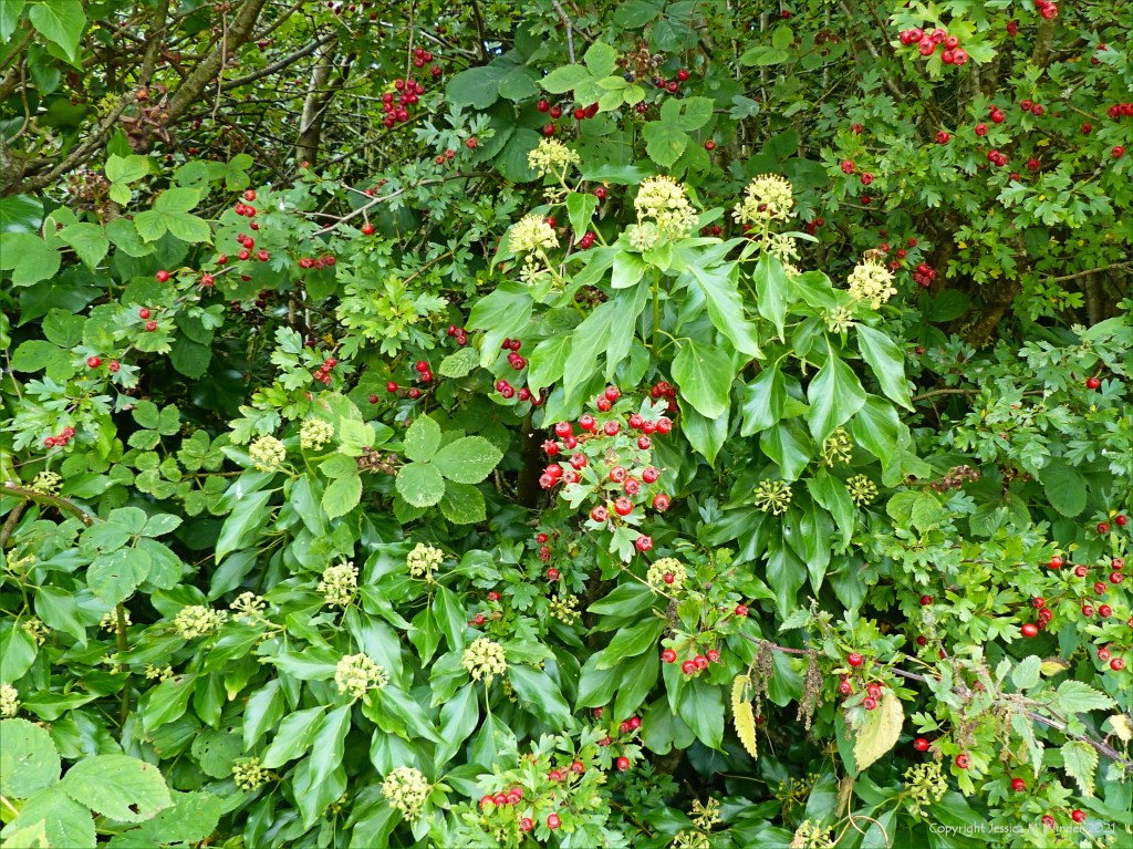 Ivy flowers with hawthorn berries in a hedgerow