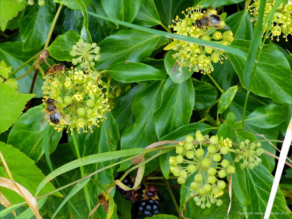 Ivy flowers with pollinating insects in a hedgerow