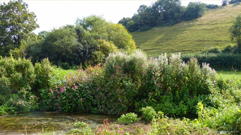 Riverbank vegetation with Himalayan Balsam flowers and Great Willow Herb seed capsules