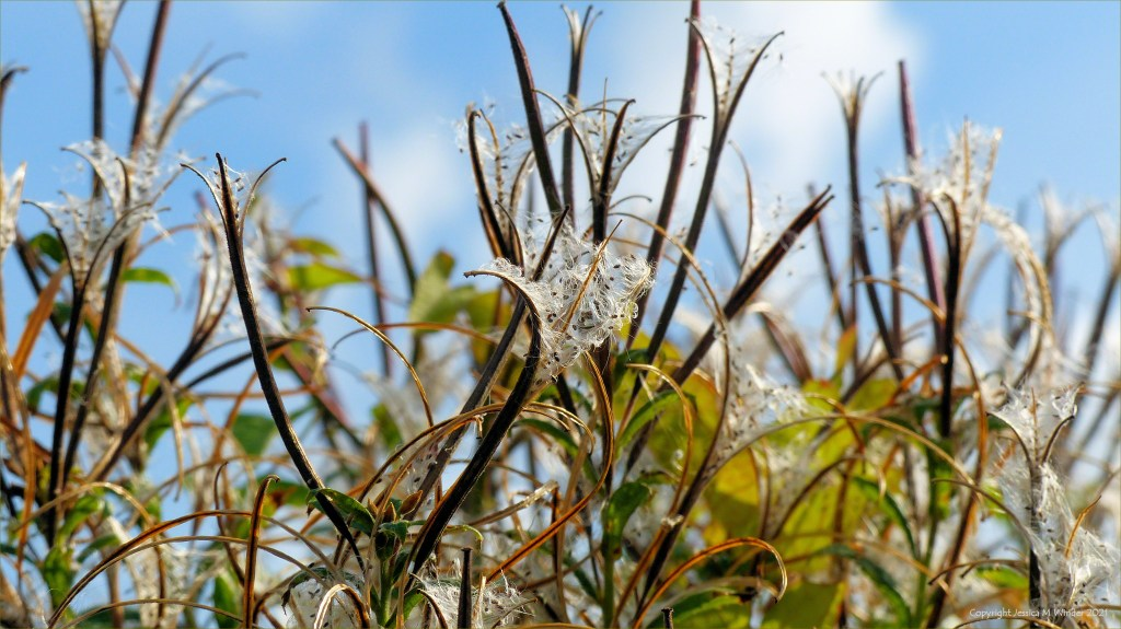 Great Willow Herb seed capsules on the riverbank