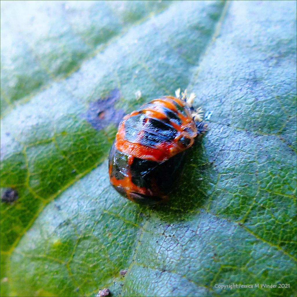 Ladybird pupa on a lime tree leaf