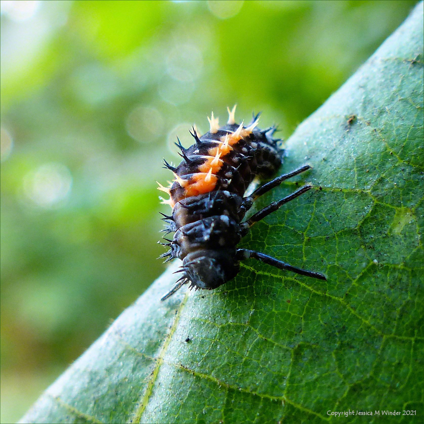 Ladybird larva on a lime tree leaf