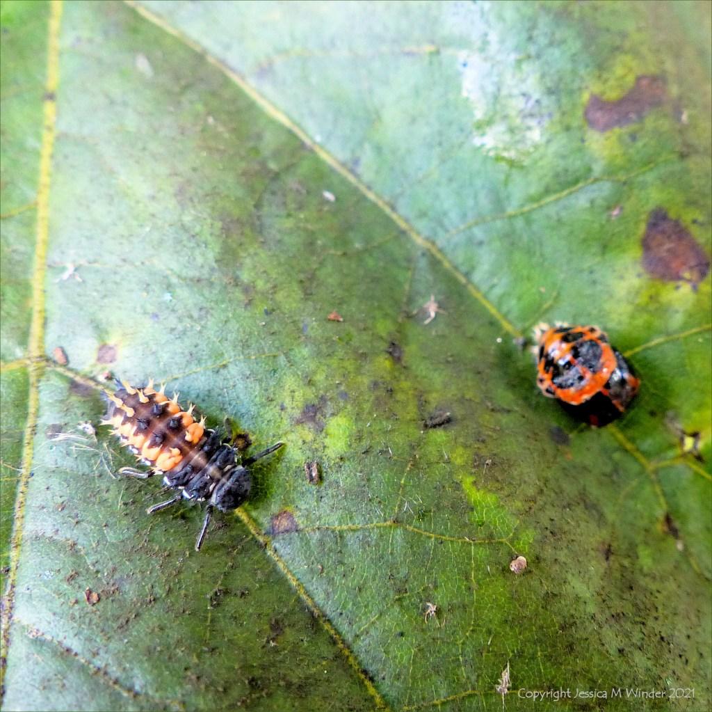 Ladybird larva and pupa on a lime tree leaf