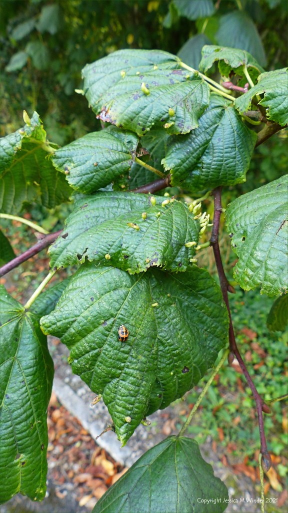 Lime tree leaves with nail galls and ladybird pupa or early instar.