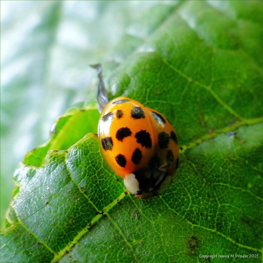 Newly emerged ladybird final stage on a lime tree leaf