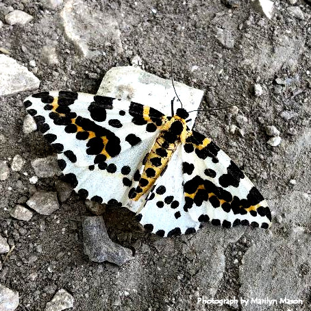 Magpie Moth on a stony path