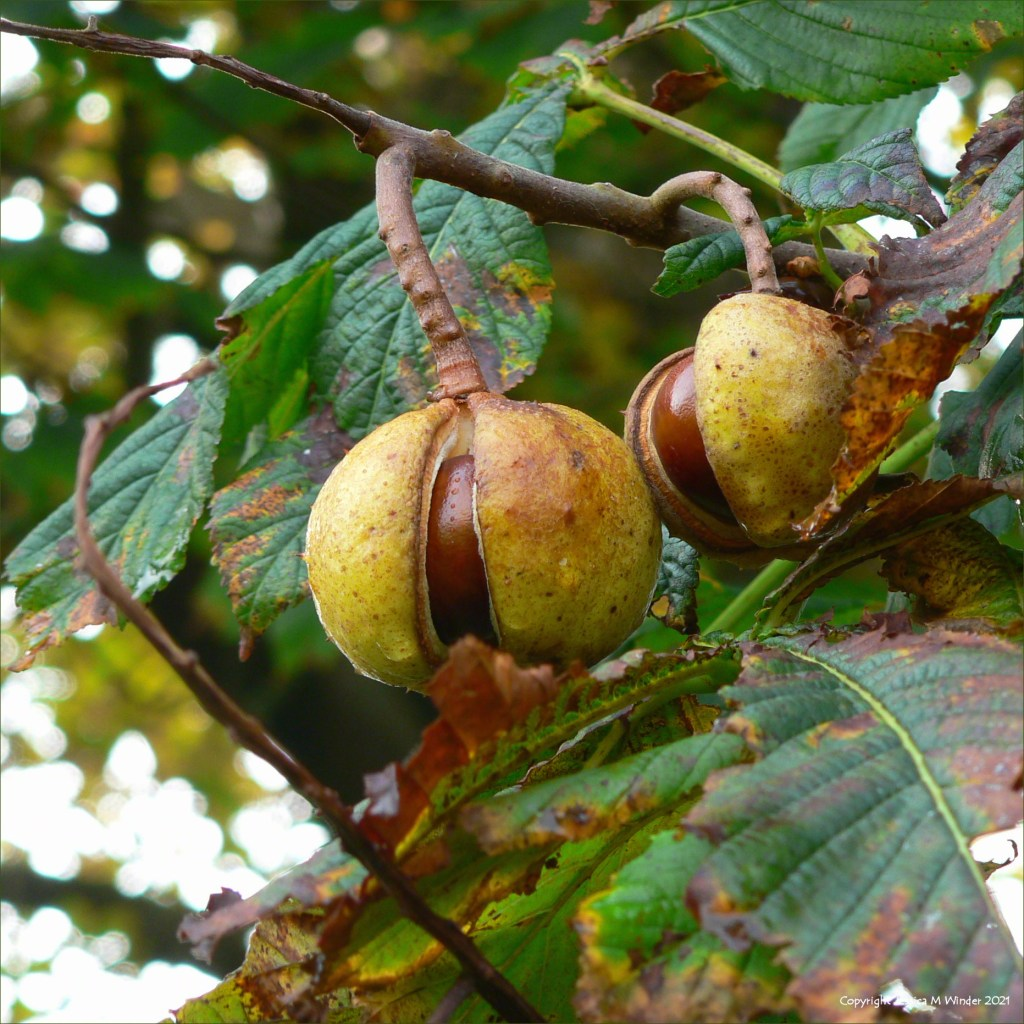 Conkers in their shells on a horse chestnut tree