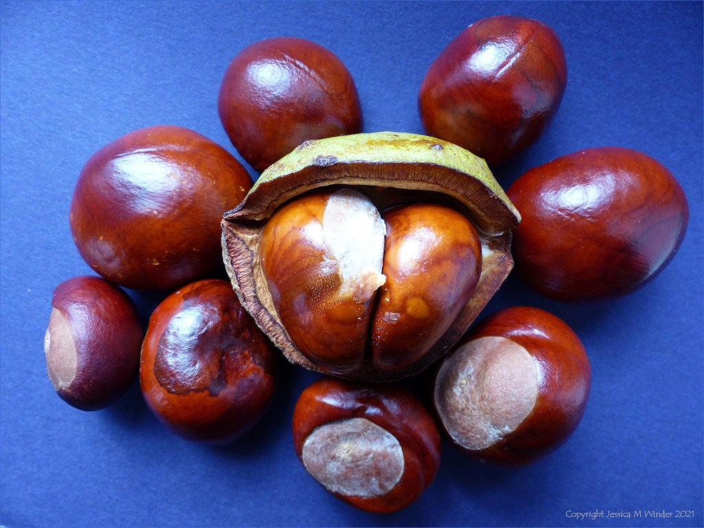 An arrangement of fresh conkers on a blue background