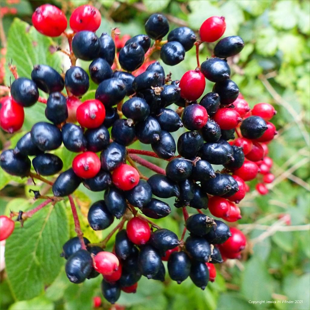Berries of the Wayfarer (Viburnum lantana)