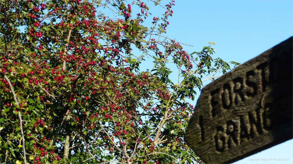 Red Hawthorn berries in the hedgerow with wooden signpost