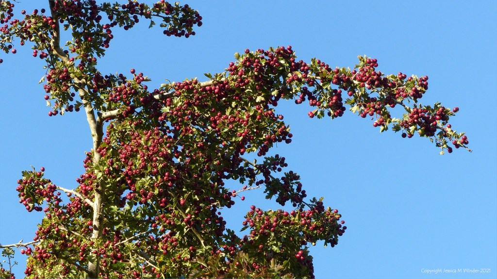 Red Hawthorn berries on branches reaching up to a blue sky