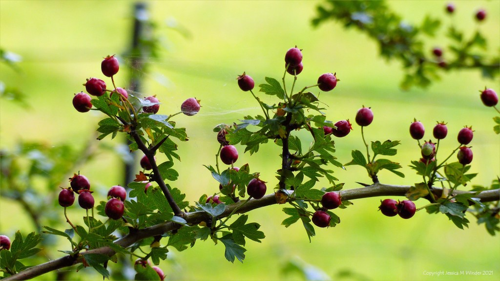 Slender branch with sparse red Hawthorn berries