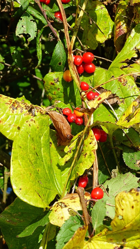Red berries of Black Bryony in the hedgerow