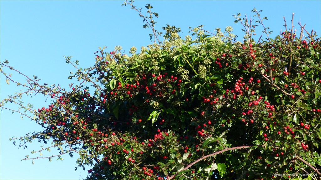 Hedgerow with red Hawthorn berries and Ivy flowers with blue sky