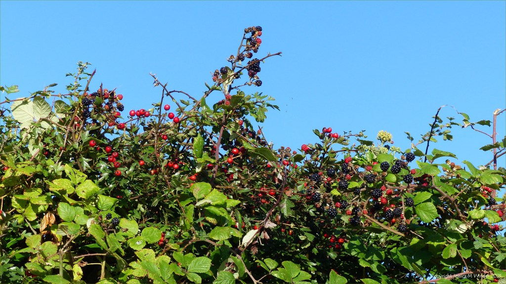 Hedgerow with red Hawthorn berries and Blackberries with blue sky