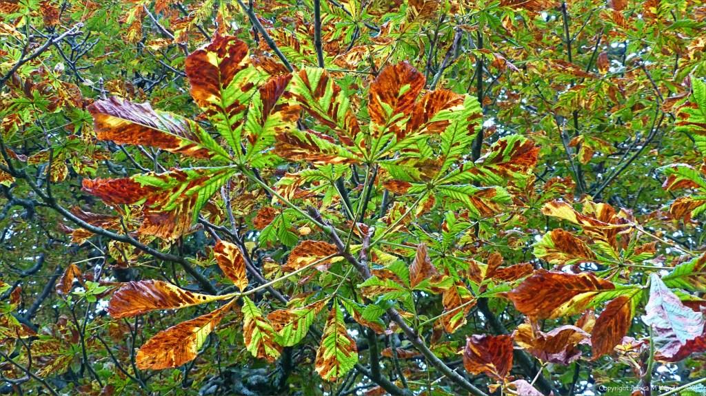 Horse Chestnut tree leaves damaged by Chestnut Leaf Miner moth caterpillars