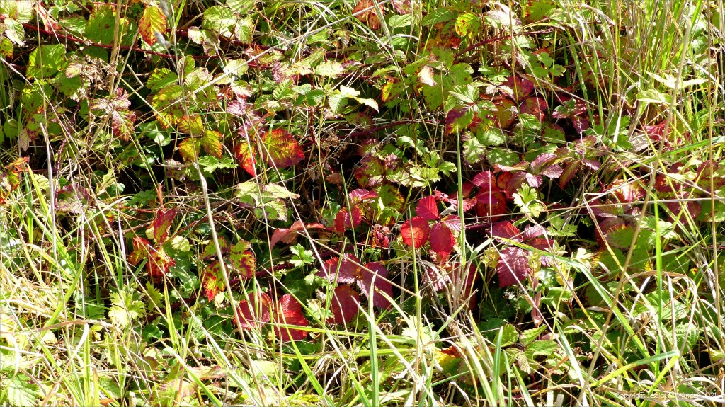 Bramble leaves turning red in Autumn
