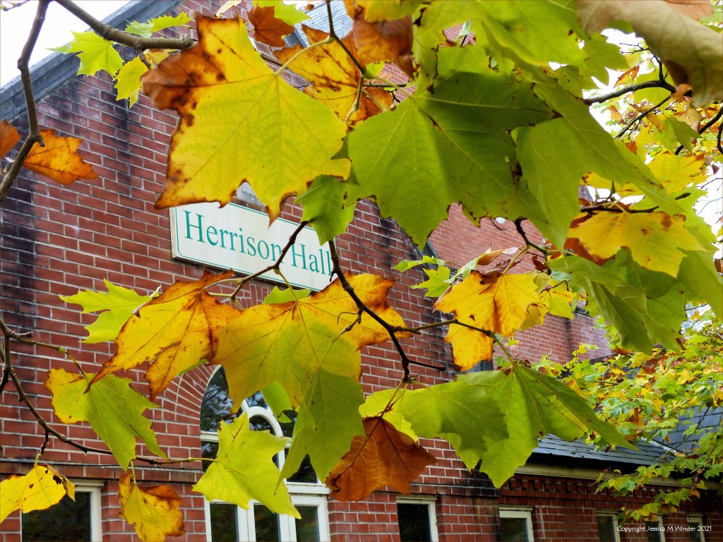 Leaves of London Plane trees changing colour with the onset of autumn